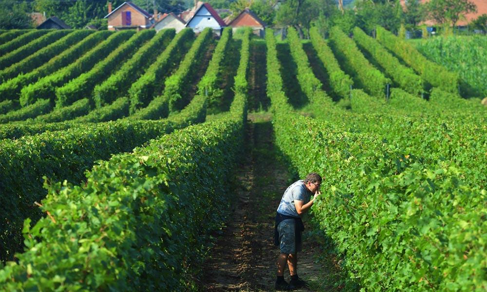 A szombati Márton-napon mutatkoznak be az eredetvédett Monori OEM borok