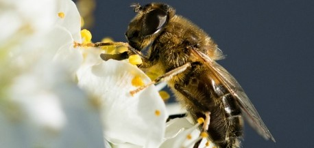 A Nébih ZöldSzámán jelenthetőek a méhpusztulási esetek